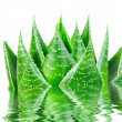 Aloe cosmo in water isolated on white background - Stock Photo