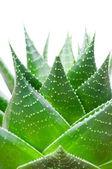 Aloesu na białym tle — Zdjęcie stockowe