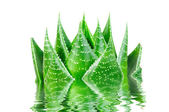 Aloe cosmo in water isolated on white background — Stock Photo