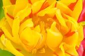 Tulip close-up — Stock Photo