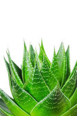 Aloe Cosmo isolated on white background — Stock Photo