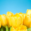 Yellow tulips on blue background — Stock Photo
