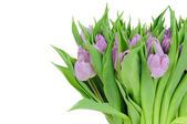 Tulips isolated on white background — 图库照片