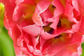 Tulip close-up — Stock Photo
