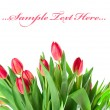 Pink tulips isolated on white background — Stock fotografie