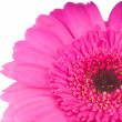 Pink gerber flower isolated on white background — Стоковая фотография