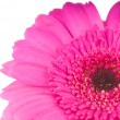 Pink gerber flower isolated on white background — Stock fotografie