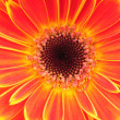 Stock Photo: Orange gerber flower. Close up