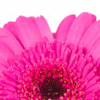 Pink gerber flower isolated on white background — Stock Photo