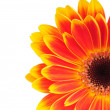 Orange gerber flower isolated on white background — ストック写真