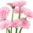 Pink gerbers isolated on white background — ストック写真