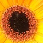 Macro photo of gerber flowers — Stock Photo #25008397