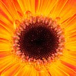 Orange gerber flower. Close up — Stock Photo #25008577