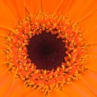 Orange gerber flower — ストック写真
