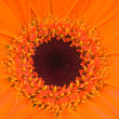 Orange gerber flower — Stock Photo #25009527