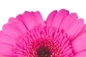 Roze gerber bloem geïsoleerd op witte achtergrond — Stockfoto