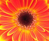 Orange gerber flower. Close up — Stock Photo
