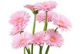 Roze gerbers geïsoleerd op witte achtergrond — Stockfoto