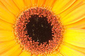 Gerber 花卉宏摄影 — 图库照片