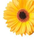 Foto macro de gerber flor isolado no fundo branco — Foto Stock