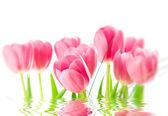 白い背景上に分離されてピンクのチューリップ — ストック写真