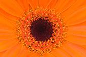 Fiore arancione gerber — Foto Stock