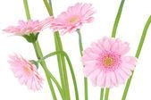 Růžová gerbera izolovaných na bílém pozadí — Stock fotografie