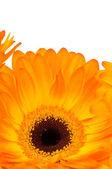 Gerber kwiat na białym tle — Zdjęcie stockowe