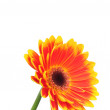 Orange gerber flower isolated on white background — Stockfoto