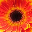 Orange gerber flower. Close up — Stock Photo #25010575