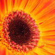 Orange gerber flower. Close up — Stock Photo #25011097