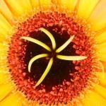 Macro photo of gerber flower — Stock Photo #25011505