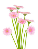 Pink gerber flowers isolated on white background — Stock Photo