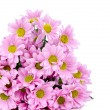 Chrysanthemum flowers — Stock Photo