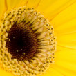 Macro photo of gerber flower — Foto Stock