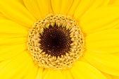 Photo macro de fleur de gerber — Photo