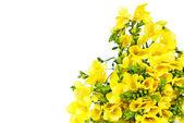 黄色のフリージア — ストック写真