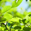 Green leaves with sun ray shallow DOF — Photo
