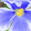 pansy flower — Stock Photo
