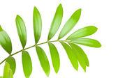 Verse groene blad geïsoleerd op witte achtergrond — Stockfoto