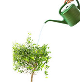 Myrtle tree and watering pot isolated on white — Stock Photo