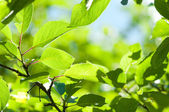 Green leaves with sun ray shallow DOF — Stock Photo