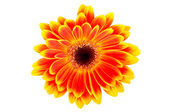 Daisy flower on white background — Stock Photo