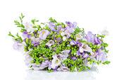 Lilac freesia isolated on white — Stock Photo