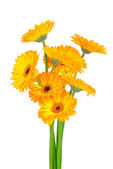 Gerber flowers isolated on white background — Stock Photo