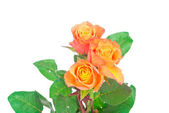 Orange roses on white background — Stock Photo