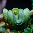 Stock Photo: Green Tree Python