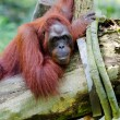Stock Photo: Oranguton tree (Pongo pygmaeus)
