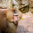 Stock Photo: Hamadryas Baboon