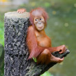 Orangutang (Pongo) baby sits on the tree — Stock Photo